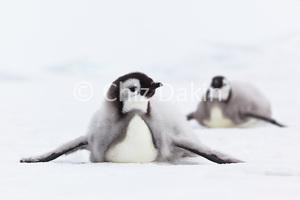 Antarctica-EmpPenguinChicks-AHL2