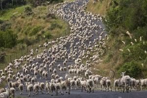 Driving sheep New Zealand