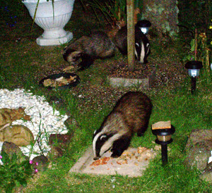 Badgers 3 of them