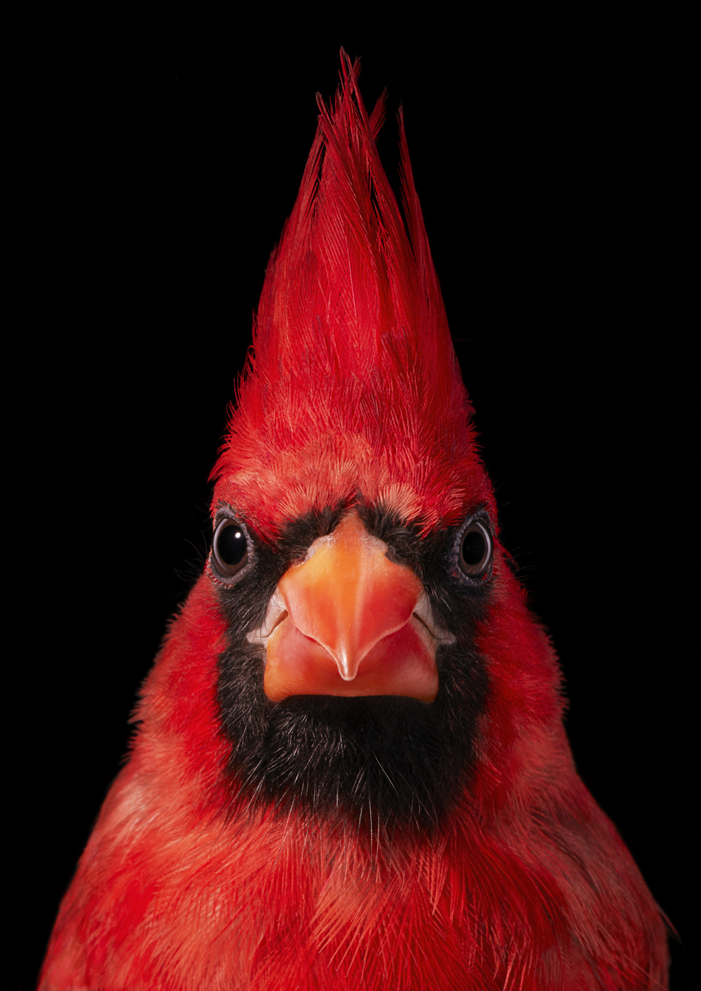 Virginia Cardinal by Tim Flach