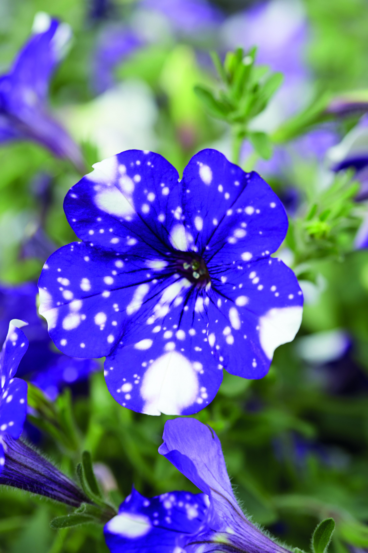 Garden Breakthrough Petunia Nightsky