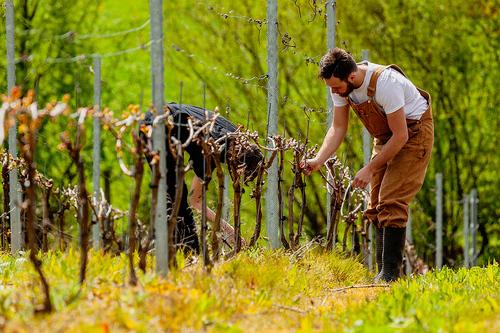 Hugo in the vineyard at Plumpton