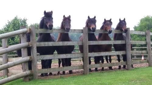 DPHT ponies waiting to come in