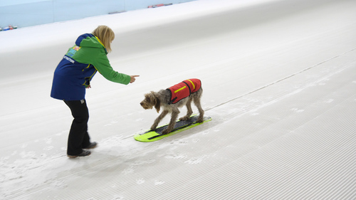 Woody the dog learns to snowboard