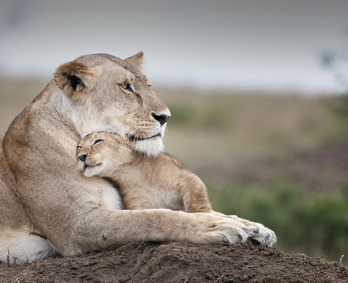 A lioness greets her cub by Billy Dodson
