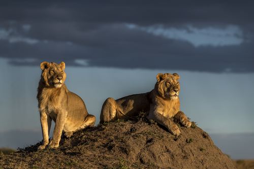 Young male lions by Daryl Balfour