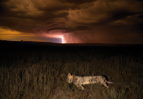 Lion during storm by Hannes Lochner