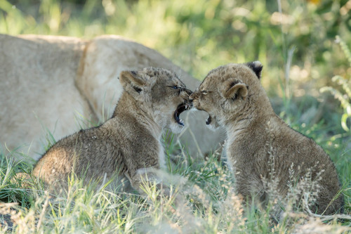 Playful cubs by James Gifford