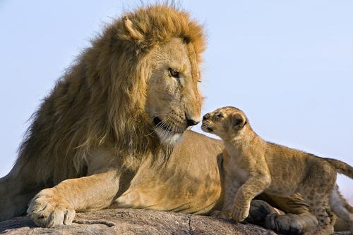 Male lion greets cub by Suzi Eszterhas