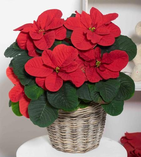 New Poinsettia variety