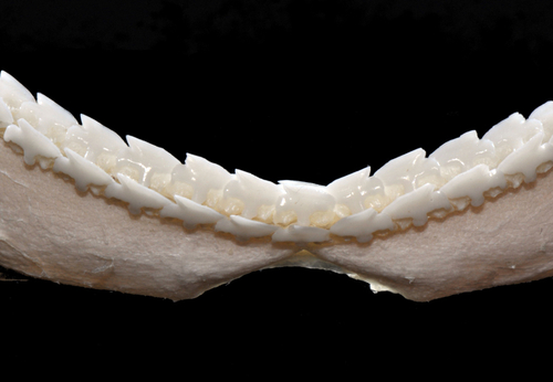 Xenodens- Squalus  acanthias lower jaw
