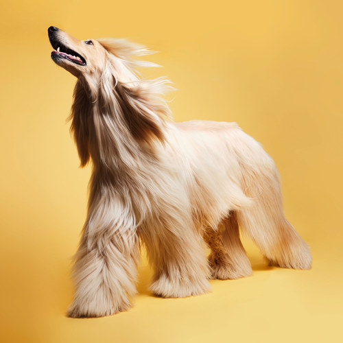 Afghan Hound with soft &amp shiny hair