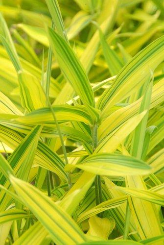 Bamboo - Pleioblastus auricomus