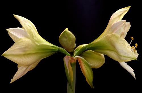 Plant now for beautiful Christmas bulbs