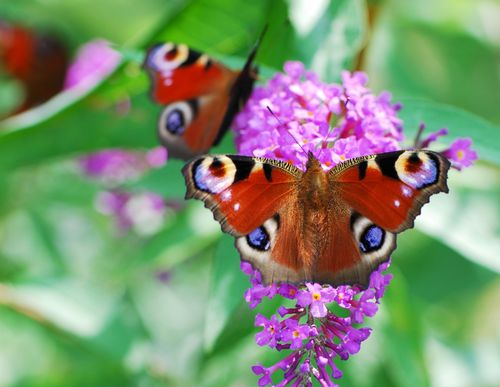 Peacock Butterfly on a buddleja