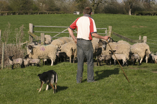 Sheep performance artist does his stuff