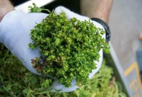 Picato derived from Euphorbia peplus sap