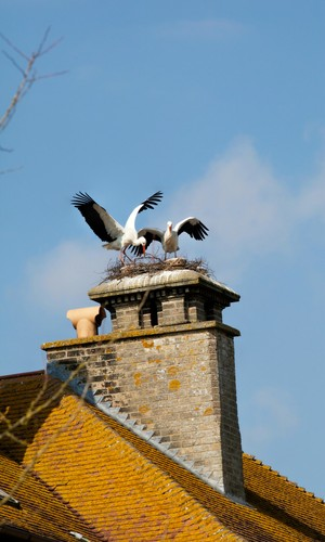 White Storks nesting at Thrigby Hall