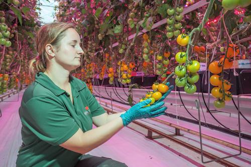 Philips LED lights grow tomatoes