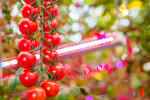 Philips LED lights grow tomatoes