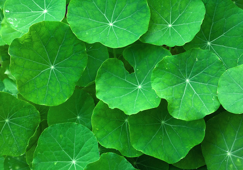 Centella: the ultimate leg wellness herb