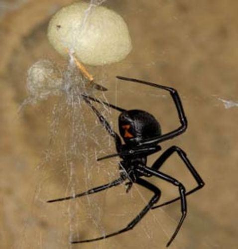 Venomous Spider to Enter UK Homes