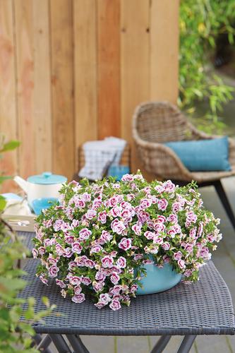 Calibrachoa PinkTastic: cascading blooms