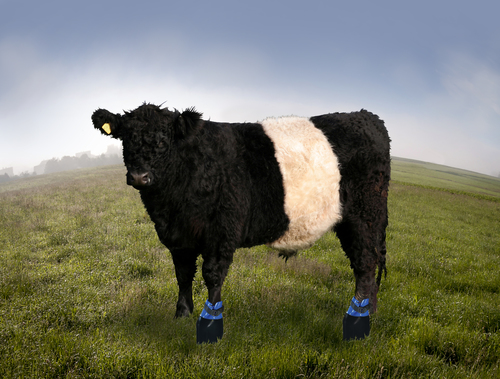 Artist impression of cattle's boots