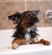 Bath time for Jessie the Chihuahua Cross
