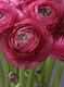 Prettiest bloom: Elegance Ranunculus