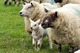 Lambing Season in Yorkshire