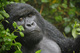 Photograph Mountain Gorillas