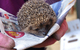Hedgehog ready for soft release