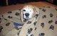 Animal testing beagle