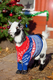 Paddy the goat dons his jumper