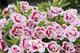 Calibrachoa PinkTastic 3D effect flowers